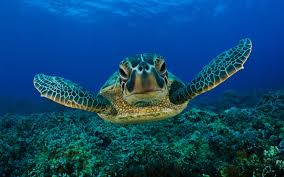 turtle wallpapers top free turtle