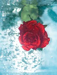 red rose under water android wallpaper