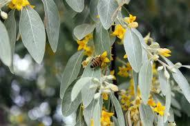 قیمت بهترین شکوفه سنجد در بازار - مرکز خرید و فروش انواع سنجد | سنجدستان