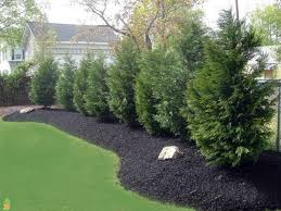 the best fast growing evergreen trees