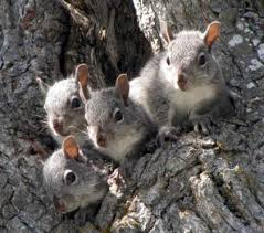 Living With Wildlife Tree Squirrels Washington Department Of Fish Wildlife