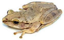 Image Of Common Tree Frog Sticker