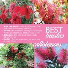 How To Grow Bottlebrush Callistemon Sp About The Garden Magazine