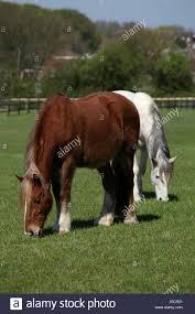 Horses grazing, Ada Cole Rescue Centre, Redwings Horse Sanctuary Stock  Photo - Alamy