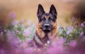 face flowers portrait dog meadow