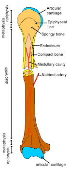 cartilage bone ossification the