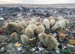 Russia S Arctic Plans Add To Polar Bears Climate Woes Voice Of America English