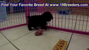 toy poodle puppies in