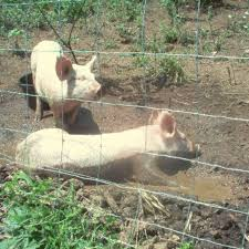 Putting The Pigs Out To Pasture