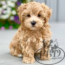 malti poo breed puppies by design