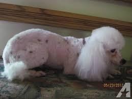 akc black and white tiny toy poodle 4