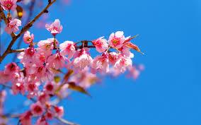 تحميل خلفيات زهر الكرز الربيع ربيع الزهور الوردية الأزرق السماء