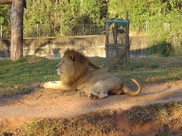 """Resultado de imagem para leão no zoológico"""""""