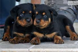 rottweiler puppy the dog wallpaper