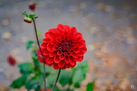 red flower dahlia background high