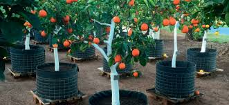 small fruit trees