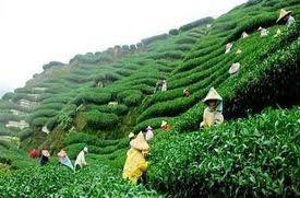 Darjeeling Tea garden - Discovered by 40 Bucketlisters at Woovly
