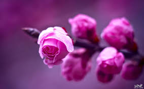 صور زهور ٢٠١٧ صور زهور وورود جميلة جدا ٢٠١٧ صور زهور الربيع