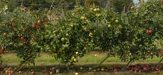 cordon fruit trees how to get the best