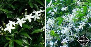 How To Grow Star Jasmine Confederate Jasmine Gardening Channel