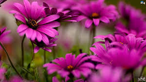 خلفيات زهور ارق واجمل صور خلفيات زهور كيوت