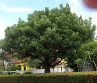 ผลการค้นหารูปภาพสำหรับ ต้นกะบก