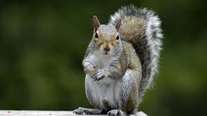 trap grey squirrels in north carolina