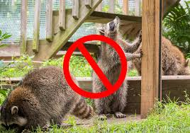 15 Tips On How To Get Rid Of Raccoons Fast Humane Way World Birds