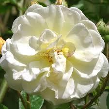 rosen kaufen goldfinch