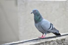 keep pigeons away from your garden