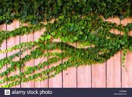 Green Ivy Growing On A Wooden Fence Stock Photo Alamy