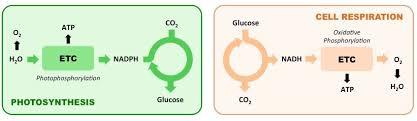 photosynthesis vs respiration bioninja