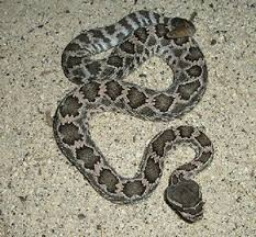 Southern Pacific Rattlesnake Ovlc Ovlc