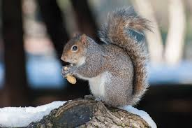 trapping squirrels how to remove them