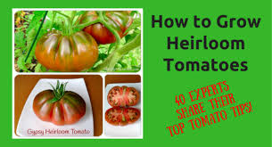 how to grow heirloom tomatoes 40