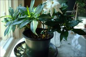 gardenia plant care indoors لم يسبق له