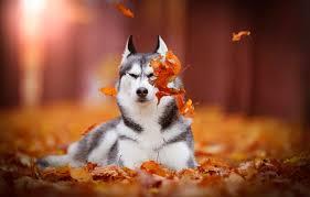 wallpaper autumn leaves dog bokeh