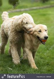 Happy Golden Retriever Dog With Poodle ...