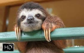 sloth wallpaper hd new tab themes new