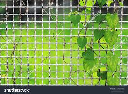 Closeup Lvy Gourd Climbing Plant Growing Stock Photo Edit Now 1225827559