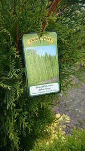 How Do I Make Emerald Green Arborvitae Grow As Fast As Biologically Possible Gardening Landscaping Stack Exchange