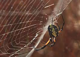 black and yellow garden spider desertusa