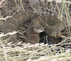 Western Rattlesnake Crotalus Oreganus Cosewic Assessment And Status Report 2014 Canada Ca