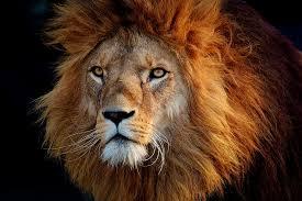 hd wallpaper photo of brown lion s