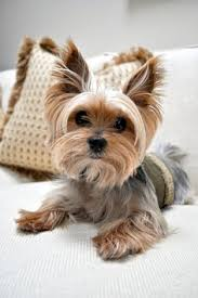 39 best yorkie hairstyles images