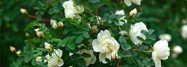 rose gardening secrets to success