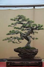 jade bonsai tree meaning latest home