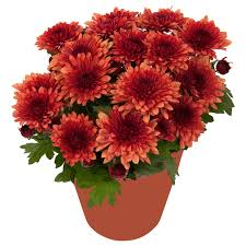CHRYSANTHEMUM Potted plant, Chrysanthemums red assorted colours - IKEA