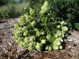 hydrangea guide when to prune where