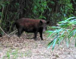 flees frightening encounter with hog